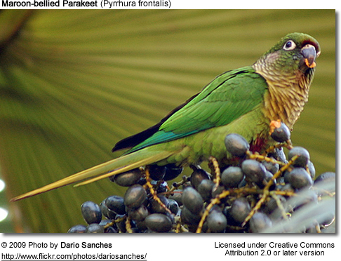 Maroon-bellied Conure