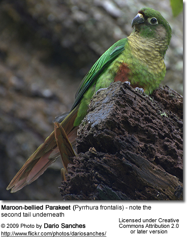 Maroon-bellied Conure on top - note the second tail below