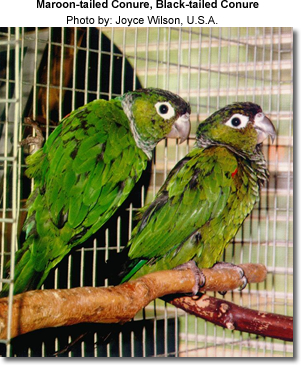 Maroon-tailed Conure