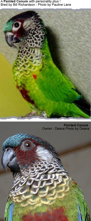 Painted Conures