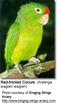 Red-fronted Conure