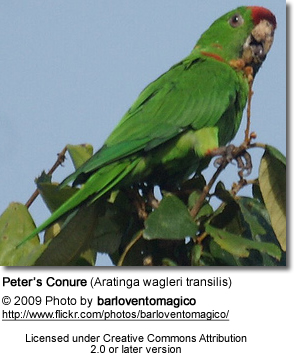Scarlet-fronted Conure