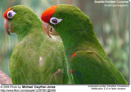 Scarlet-fronted or Red-fronted Conures