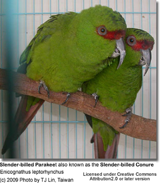 Slender-billed Conure