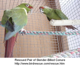 Slender-billed Conure Pair