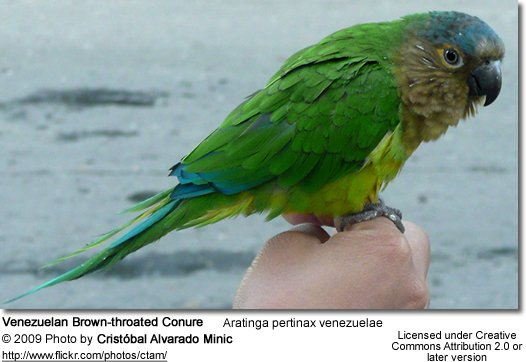 Venezuelan Brown-throated Parakeet