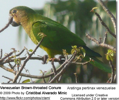Venezuelan Brown-throated Conure
