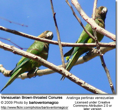 Venezuelan Brown-throated Conures