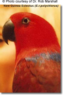 New Guinea Red-sided Eclectus Female