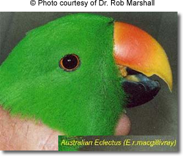 Queensland Eclectus Parrots, aka Australian Red-sided