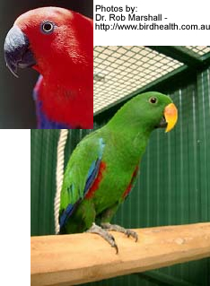Queensland Eclectus Parrots Aka Australian Red Sided