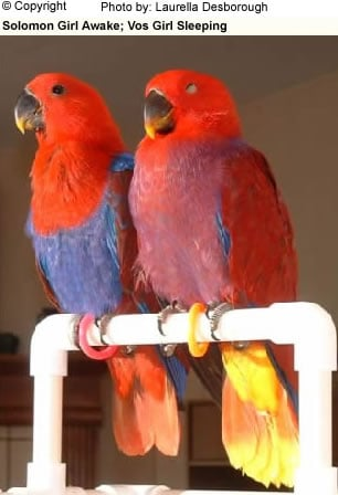 Eclectus Female Comparison