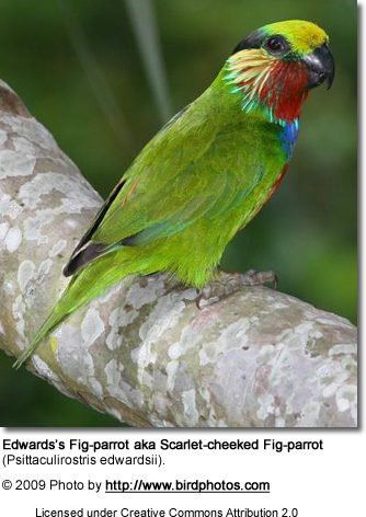 Edward's Fig Parrot a