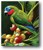Coxen's Fig Parrot