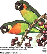 D'Albertis' Orange-breasted Fig-Parrot