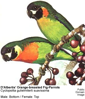 D'Albertis' Orange-breasted Fig-Parrots