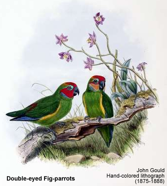 Double-eyed Fig-parrots