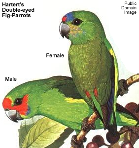 Hartert's Double-eyed Fig Parrots