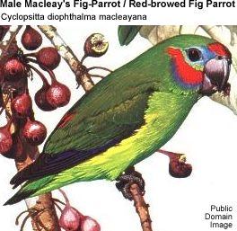 Macleay's Fig-Parrot