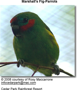 Marshall's Fig Parrot