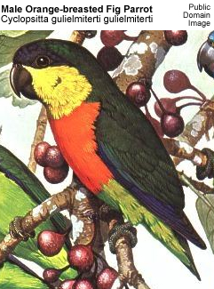 Orange-breasted Fig Parrot (Male)