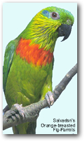 Salvadori's Fig-Parrot