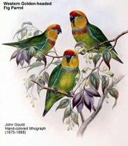 Western Golden-headed Fig Parrots