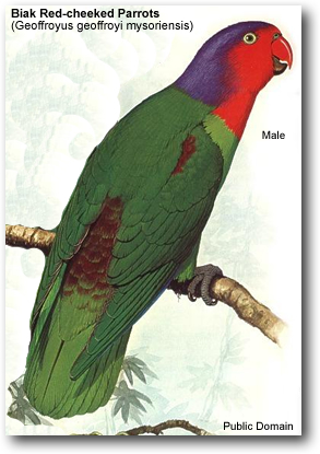 Male Biak Red-cheeked Parrot