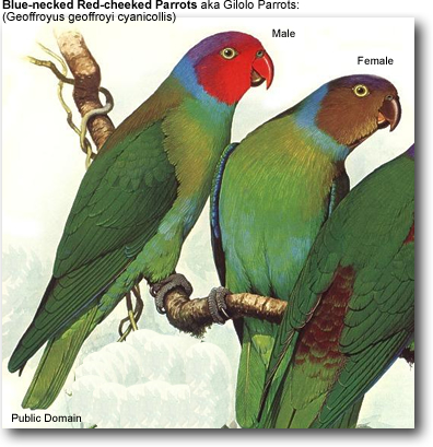 Blue-necked Red-cheeked Parrot