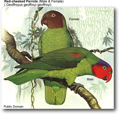 Male & Female Red-cheeked Parrots