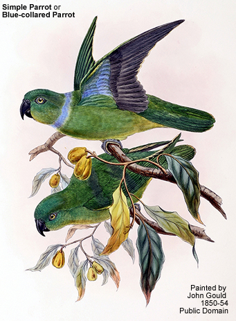 Simple or Blue-collared Parrot
