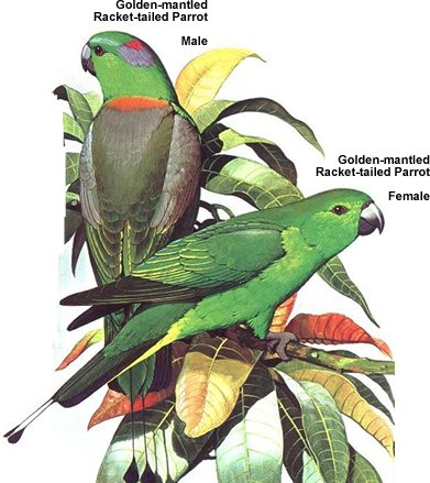 Golden-mantled Racket-tailed Parrots