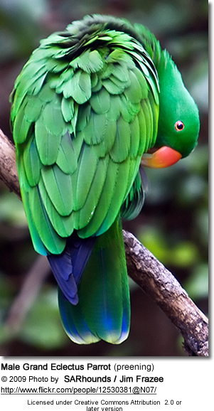 Male Grand Eclectus Parrot (preening)