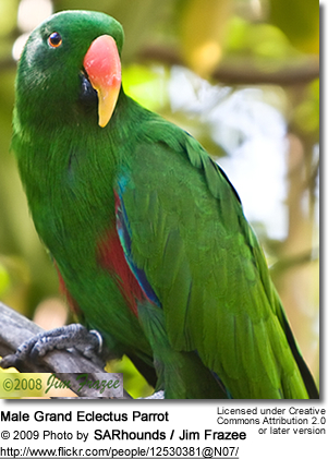 Grand Eclectus Parrot