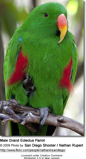 Male Grand Eclectus Parrot