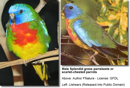 Male Splendid Parakeets