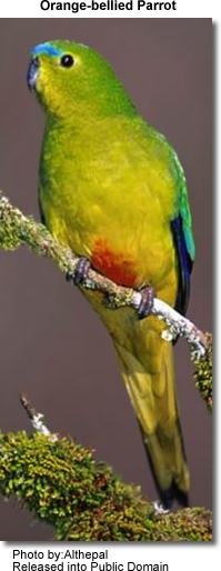 Orange-bellied Parakeets