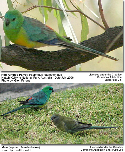 Red-rumped Parrots aka Red Rump Parakeets, or Red Rumps | Beauty of