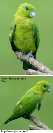 Green Racket-tailed Parrot
