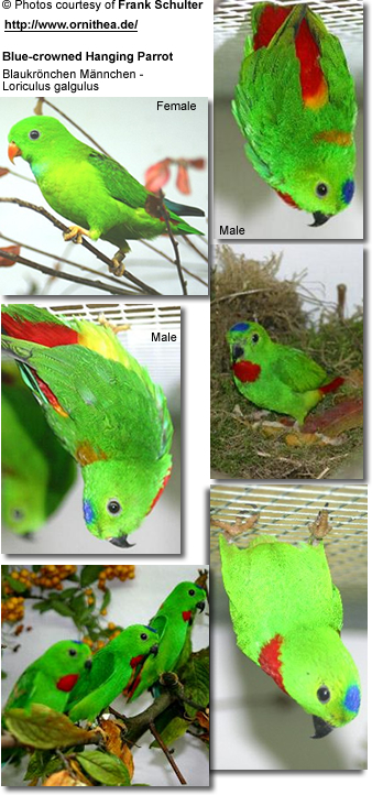 Blue-crowned Hanging Parrot