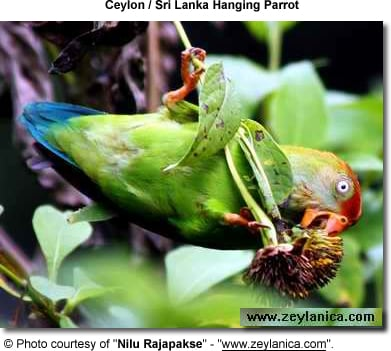 Ceylon Hanging Parrot also known as Sri Lanka Hanging Parrot