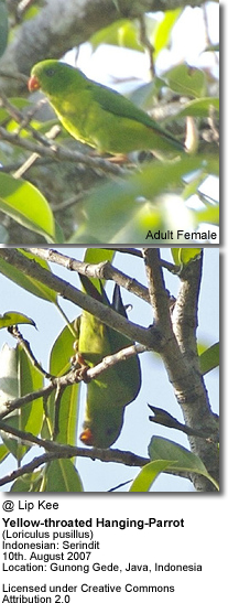 Yellow-throated Hanging Parrots