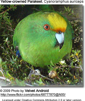Yellow-crowned Parakeet, Cyanoramphus auriceps