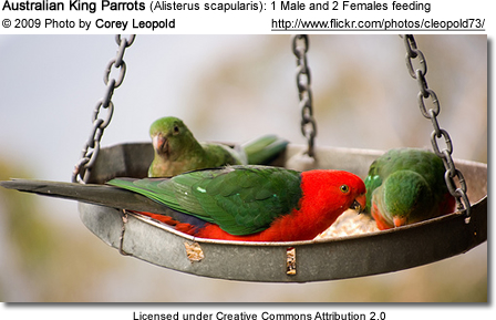 1 Male and 2 Female Australian King Parrots at a bird feeder