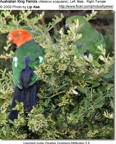Male and Female Australian King Parrot - the female is well hidden in the foliage - to the right