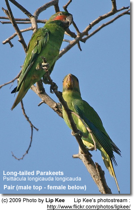 Long-tailed Parakeets (Pair)