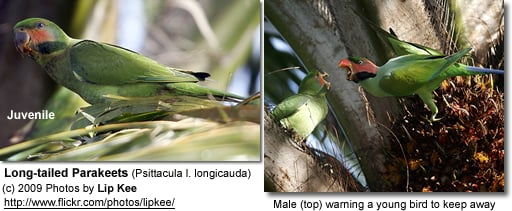 Juvenile Long-tailed Parakeet and Adult Male
