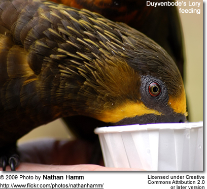 Duyvenbode's Lory drinking nectar
