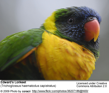 Edward's Lorikeet