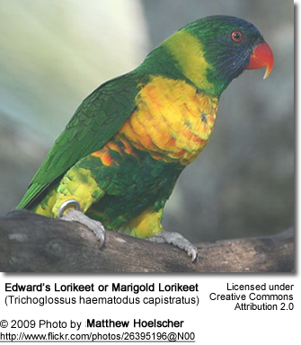 Marygold or Edward's Lorikeet